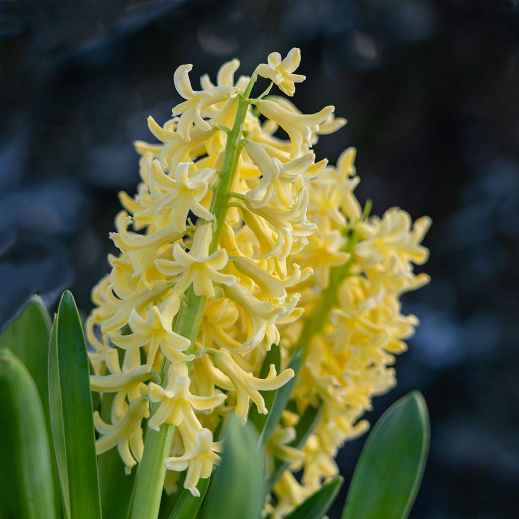 Hyacinth - Yellowstone