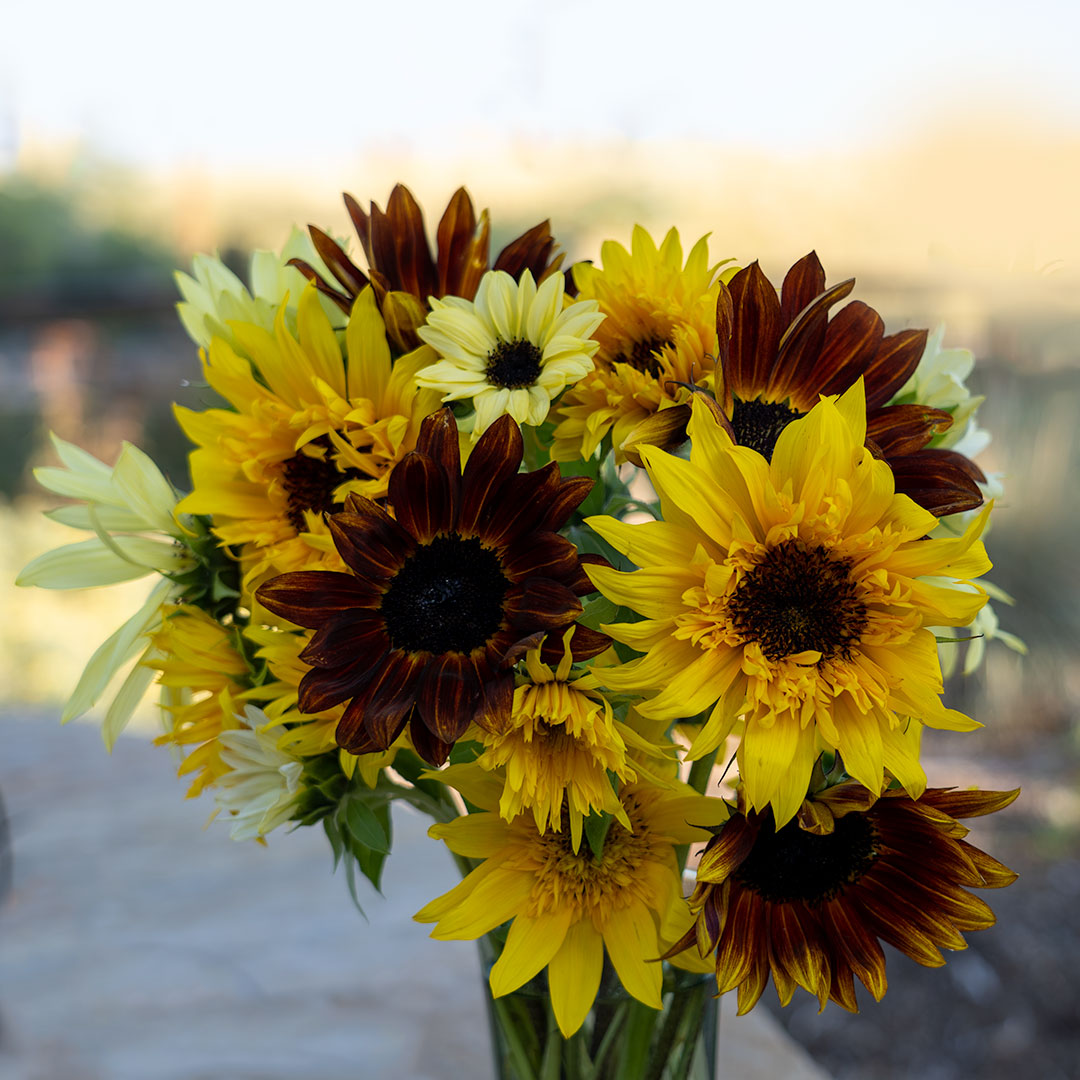 Freshly picked Sunflower bouquet